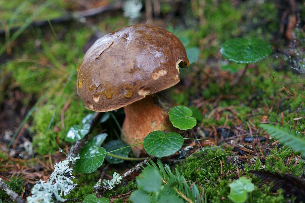Wilder Kaiser Pilze sammeln