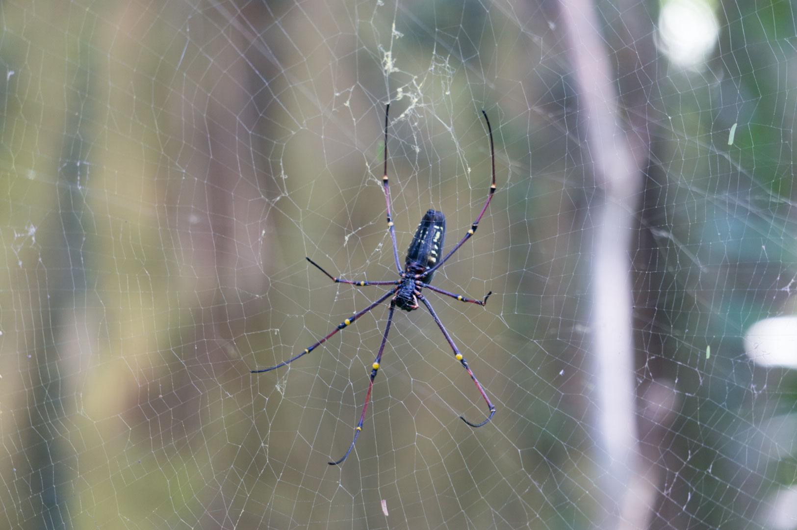Mega Spinne im Botanischen Garten Kandy