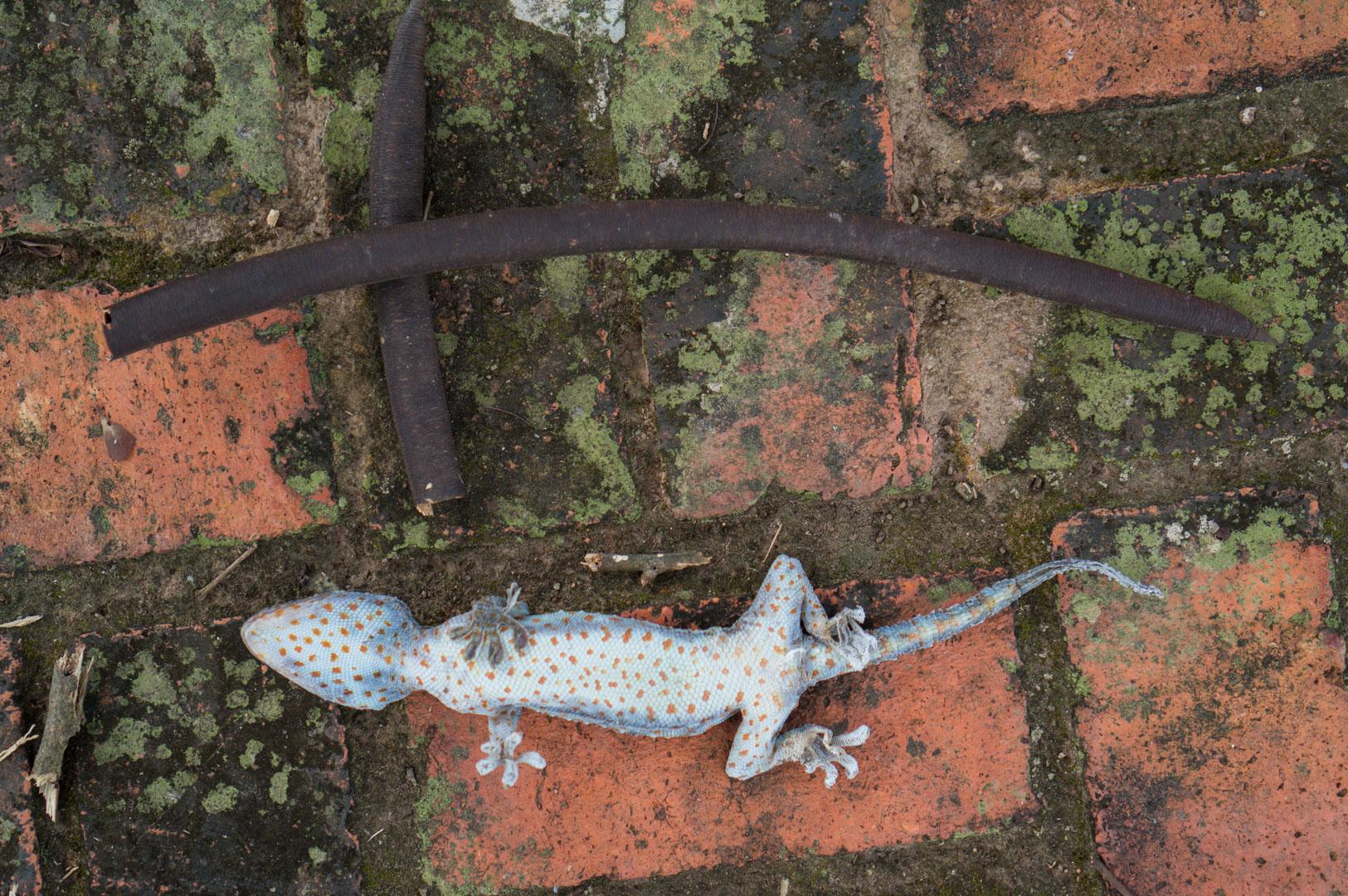 Salamander Begräbnis Sukhothai