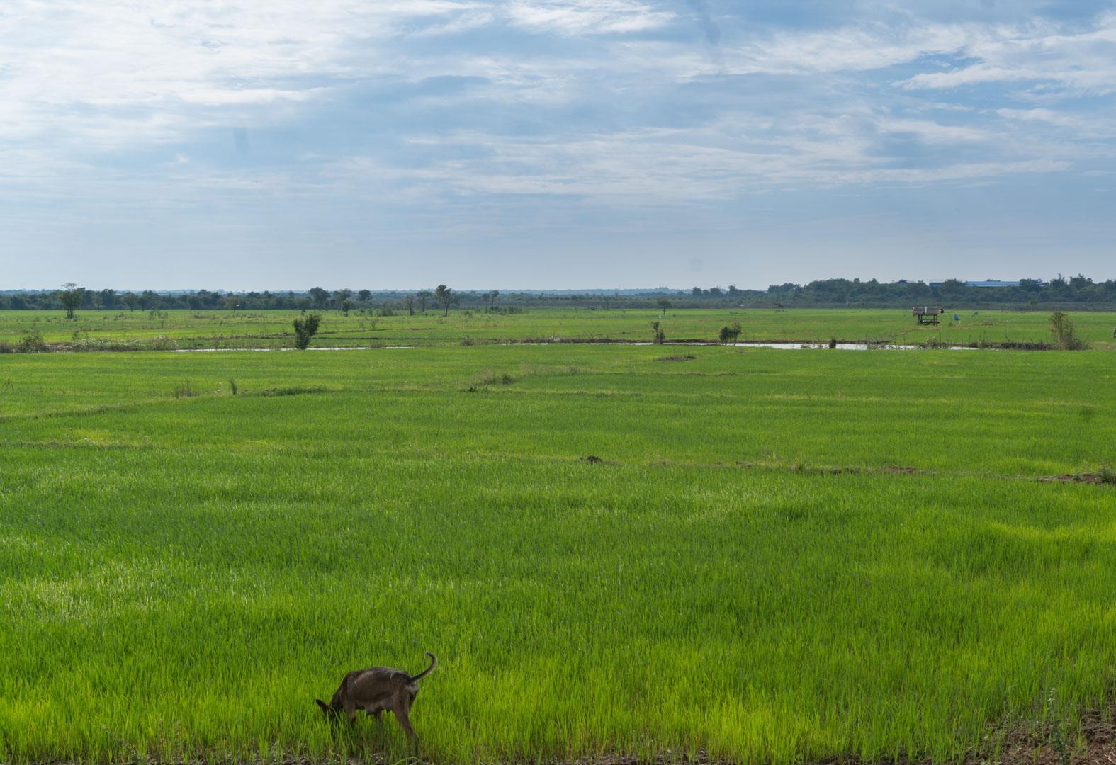 Reisfelder um Kampong Cham